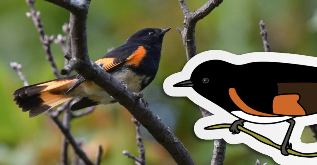 Photograph of a bold American restart, a black bird with orange accents on the wing and tail, and a white underbelly. The bird is sitting in a leafless cluster of branches with leaf buds at the tips. Illustration of an Amercian redstart sits on top of the photo.