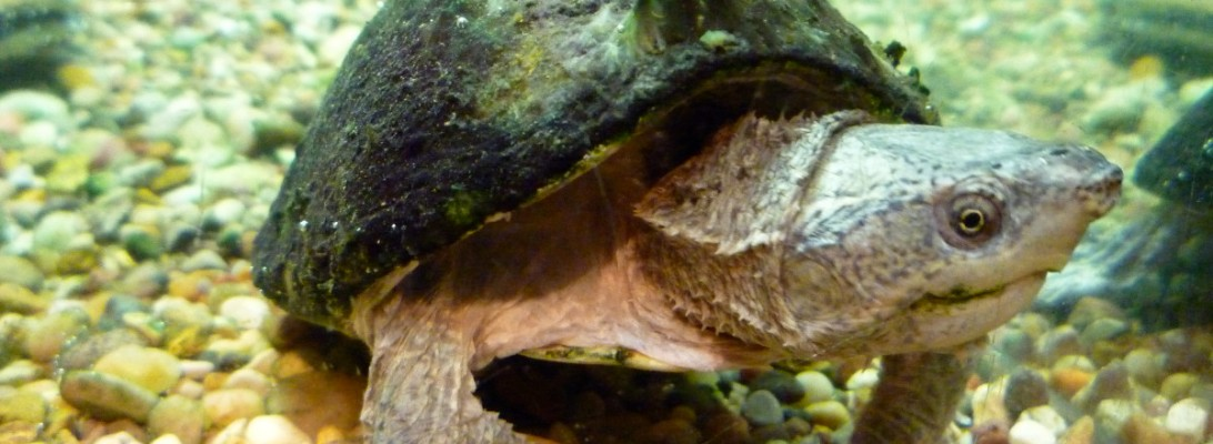 Photograph of a small Illinois native river turtle with a domed shell covered in green algae and a light grey body, with clawed webbed feet and barbels on the neck, standing on pebbles in a glass aquarium tank.