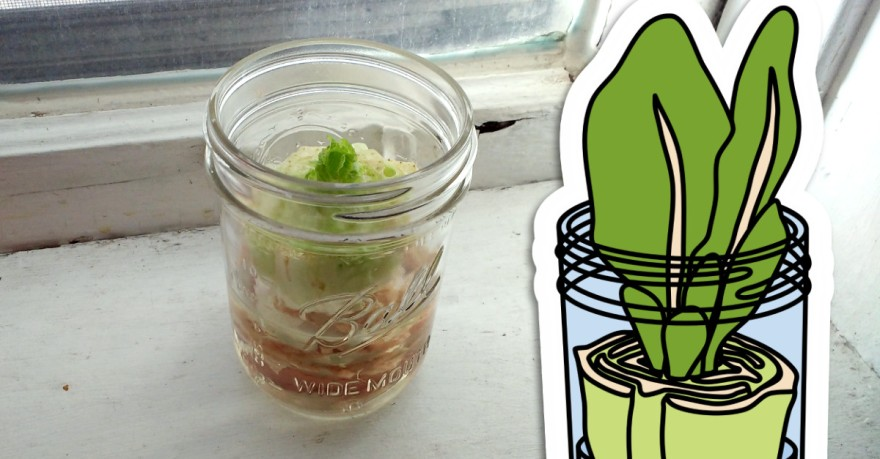 Photograph of a glass wide-mouth pint jar sitting on a window sill holds the chopped end of a head of romaine lettuce sitting in water. Small lettuce leaves have begun to grow from the middle of the lettuce surface. 13sparrows.com