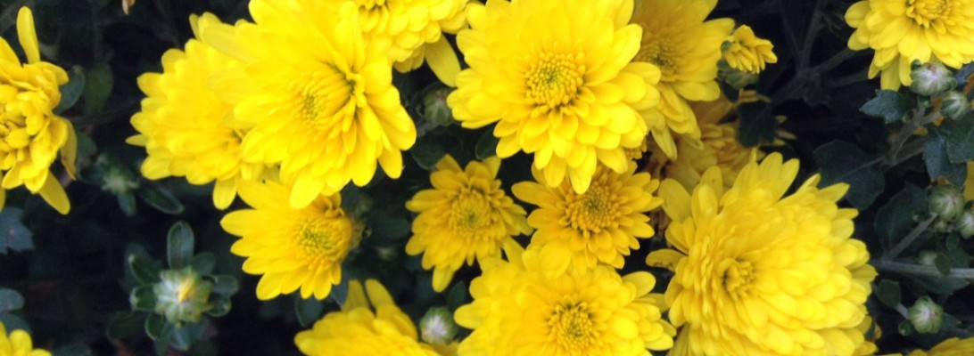 A close view of a yellow mum plant in bloom.